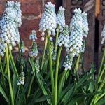 Valerie Finnis Muscari – 10 bulbs