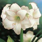 Picotee Amaryllis – 1 bulb