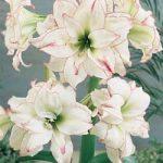 Aphrodite Amaryllis – 1 bulb