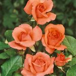 America Climbing Rose – 1 bare root plant