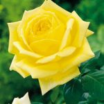New Day Grandiflora Rose – 1 bare root plant