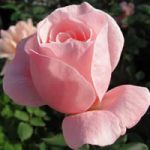 Queen Elizabeth Grandiflora Rose – 1 bare root plant