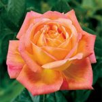 Arizona Grandiflora Rose – 1 bare root plant