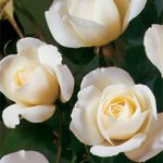 Iceberg Floribunda Rose – 1 bare root plant
