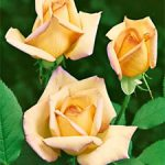 Peace Hybrid Tea Rose – 1 bare root plant
