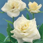 John F. Kennedy Hybrid Tea Rose – 1 bare root plant