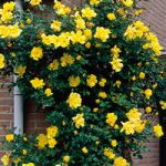 Golden Showers Climbing Rose – 1 bare root plant