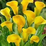 Sunshine Callafornia Calla® Calla Lily – 3 tubers