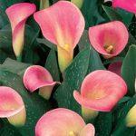 Pillow Talk Callafornia Calla® Calla Lily – 3 tubers