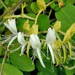 Japonica purpurea Honeysuckle – 1 pre-started plant
