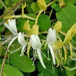 Japonica purpurea Honeysuckle – 1 pre-started plant