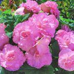 Pink Ruffled Begonia – 3 tubers