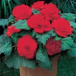 Red Ruffled Begonia – 3 tubers