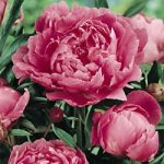 Dr. Alex Fleming Peony – 1 root division