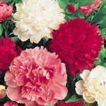 Mixed Peonies – 5 root divisions