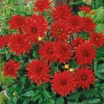 Red Pygmy Cactus Dahlia – 3 root divisions