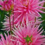 Park Princess Cactus Dahlia – 3 root divisions
