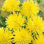Munchen Cactus Dahlia – 3 root divisions