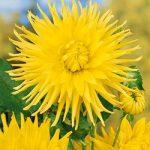 Kennemerland Cactus Dahlia – 3 root divisions