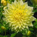 Kelvin Floodlight Decorative Dahlia – 3 root divisions