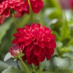 Garden Wonder Decorative Dahlia – 3 root divisions
