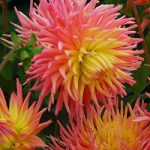 Alfred Grille Cactus Dahlia – 3 root divisions