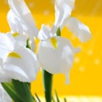 White Perfection Dutch Iris – 10 bulbs