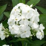 David Tall Summer Phlox – 3 root divisions