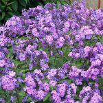 Blue Paradise Tall Summer Phlox – 3 root divisions