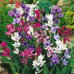 Mixed Babiana – 25 bulbs