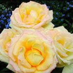 Gold Medal Grandiflora Rose – 1 bare root plant