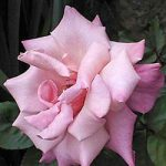 First Prize Hybrid Tea Rose – 1 bare root plant