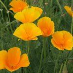 Eschscholzia californica – California Poppy Bulk Seed – 1 pound