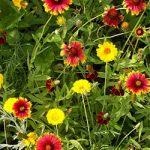 Xeriscape – Western U.S. Mix Bulk Seed – 1 pound