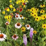 Native Perennial Mix Bulk Seed – 1 pound