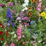 Annuals for Sun Mix Bulk Seed – 1 pound
