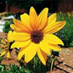 Sunflower – Helianthus annuus Bulk Seed – 1 pound