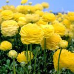 Yellow Tecolote® Ranunculus – 10 bulbs