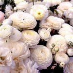 White Tecolote® Ranunculus – 10 bulbs