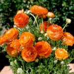 Sunset Tecolote® Ranunculus – 10 bulbs
