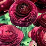Purple Tecolote® Ranunculus – 10 bulbs