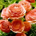 SOLD OUT Salmon Tecolote® Ranunculus – 10 bulbs