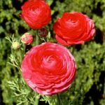 Rose Tecolote® Ranunculus – 10 bulbs
