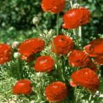 Red Tecolote® Ranunculus – 10 bulbs