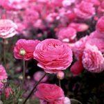 Pink Tecolote® Ranunculus – 10 bulbs