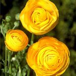 Gold Tecolote® Ranunculus – 10 bulbs