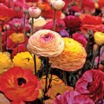 Mixed Tecolote® Ranunculus – 10 bulbs