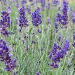 Hidcote Lavender – 10 root divisions