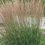 SOLD OUT Karl Foerster Feather Reed Grass – 3 plugs