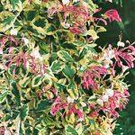 Harlequin Honeysuckle – 1 pre-started plant